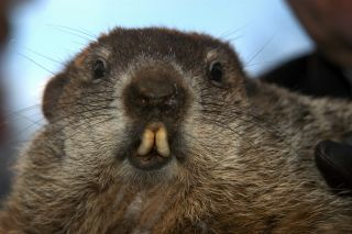 Punxsutawney Phil predicts the length of winter on Groundhog Day.