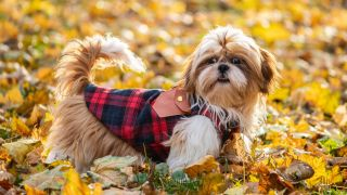 How to keep a dog warm outside: Shih Tzu standing in amongst autumn leaves wearing dog coat
