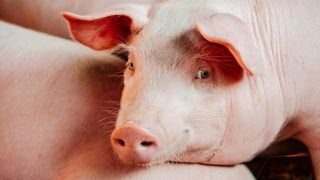 A swallowed pedometer sparked more than indigestion for a pig in the U.K.