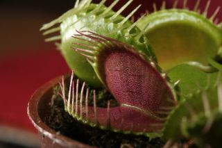 Venus Flytrap relies on hormones to seal its trap on an insect and secret digestive enzymes.