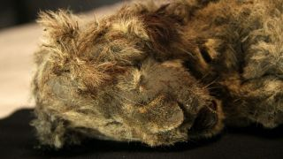 The two mummified cave lion cubs were found with their fur, teeth, skin, organs and whiskers in tact.