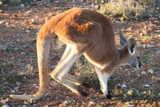 Red kangaroos, like this one at Fowlers Gap Arid Zone Research Station in Australia, use their tail as a sort of fifth leg.