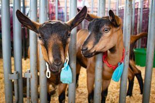 Goats at the San Diego County Fair.