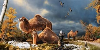camels in the canadian high arctic