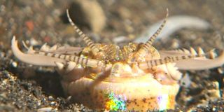 The Bobbit worm hunts at night by extending its antennae above its burrow, hoping to snatch passing prey. The worms are often up to 10 feet (3 meters) in length.