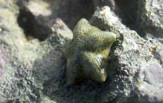 The sea stars <em>Cryptasperina hystera</em> and <em>C. pentagona<em> are close relatives that look identical but reproduce in very different ways. <em>Pentagona</em> is a broadcast spawner, and <em>hystera</em> broods its young internally. A new study sh