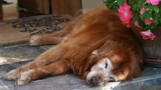 A geriatric golden retriever napping (not Augie).