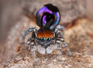 Nature's smallest rainbow can be found on the butt of the peacock spider <em>Maratus robinsoni</em>.