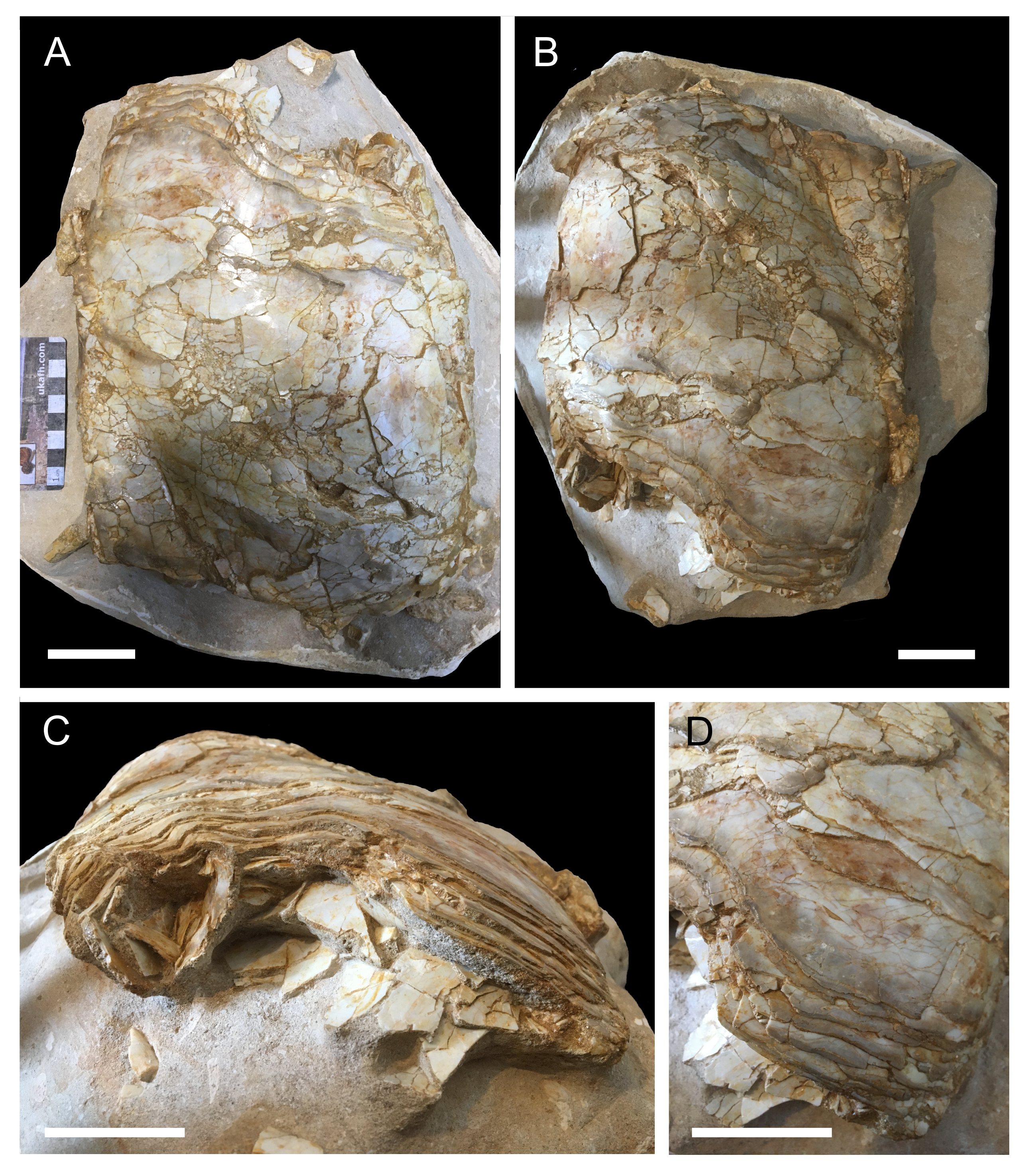 The fossilized coelacanth lung separated from the slab of fossils.
