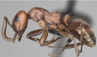 Polyergus mexicanus, one of the newly reinstated species of ants that biologist James Trager found in his backyard.