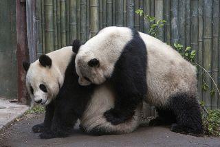 panda mating