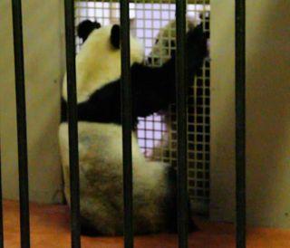 pandas at Edinburgh zoo, panda breeding, panda couples, zoo pandas, endangered species news, animal news, baby animals