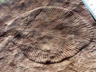 Dickinsonia Costa fossil