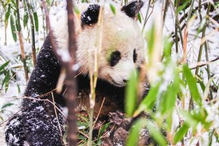 panda protections, wildlife benefits map