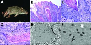 "A newfound poxvirus, dubbed ""Brazospox virus,"" was recently discovered in Texas rodents. Above, an image of an infected rodent with large skin lesions on its legs and tail (A); images of the skin lesions under a microscope, with arrows showing aggregates"