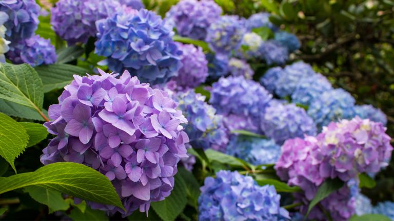 how to prune hydrangeas: blue and purple mopheads