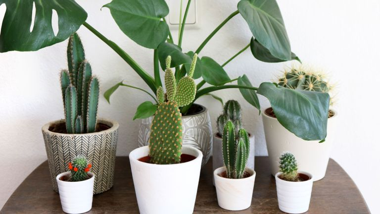 cacti and monstera plant