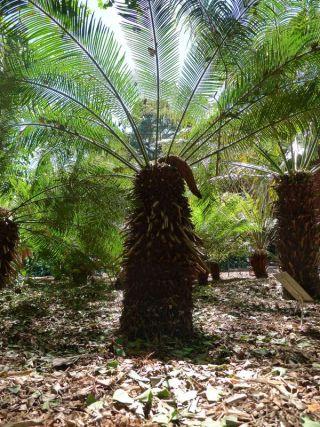 Cycas taitungensis, Royal Botanic Garden, Sydney
