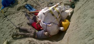 Paleontologists prepare to remove the T. rex skull from the dig site in northern Montana.