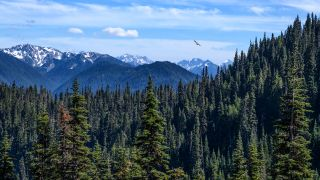 The mountains of Olympic National Park in the backdrop with pine tree forests at the foreground