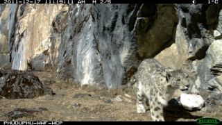 snow leopard marking its spot