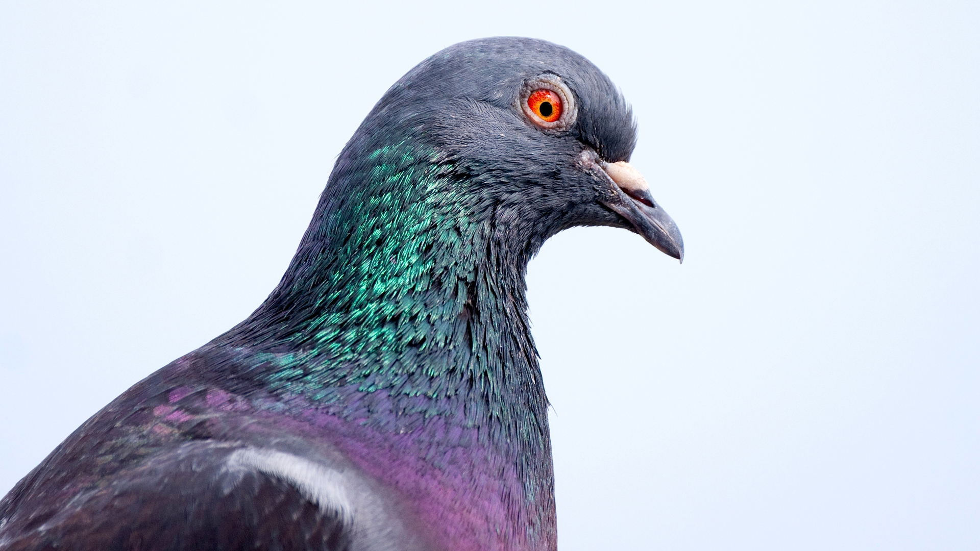 Why Do Pigeons Bob Their Heads Live Science