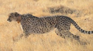 Wild Cheetah Wearing GPS Collar