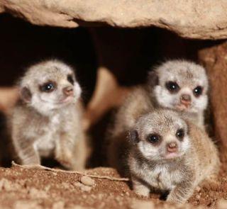 meerkat-babies-2-110630-02