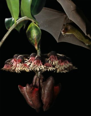 Flower Sends Echo Signal to Bats