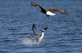 In a separate incident from the one described here, a loon launches out of the water to scare off a bald eagle on Bow Lake in Northwood, New Hampshire.