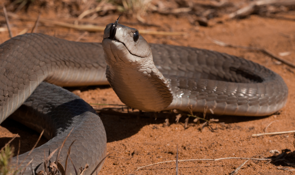 Black Mamba Facts Live Science