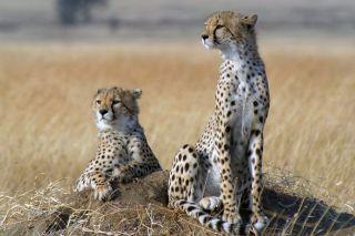 two alert cheetahs