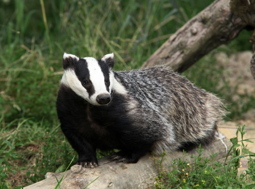 Facts About Badgers Live Science