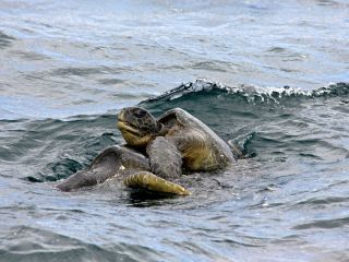 Mating green sea turtles (Chelonia mydas) in the Galapagos Islands.