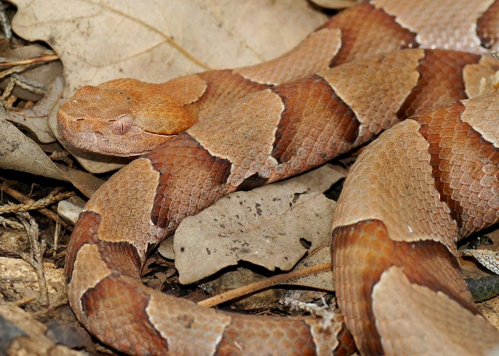 Copperhead Snakes: Facts, Bites & Babies | Live Science