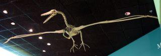 Pelagornis miocaenus