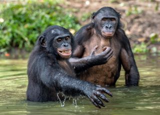 Two bonobos in the water in the Congo.