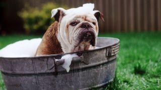 medium dog breeds - english bulldog