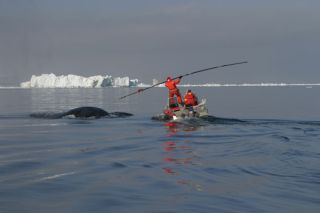 tagging a bowhead whale. a study found the whales mingle in the northwest passage when arctic sea ice is low