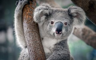 Chlamydia in koalas is no laughing matter.