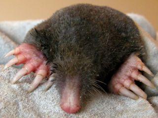 mole, twelve fingers, polydactyly, hand formation, finger, thumb, wrist bone, evolution, Iberian mole,