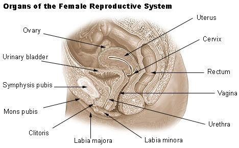 Reproductive System Facts Functions And Diseases Live