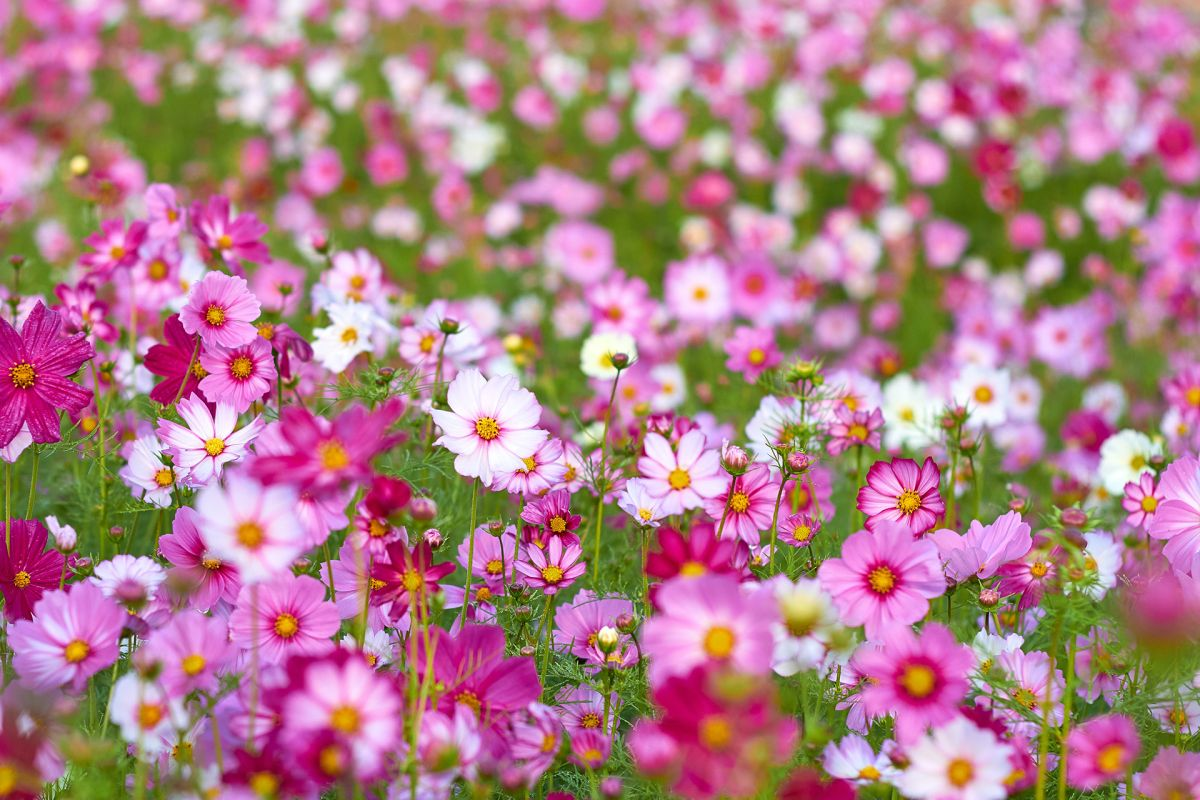 Monty Don's top tips for growing cosmos – and the one mistake to avoid