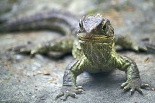 The tuatara, an iconic New Zealand reptile, is a group with only two species. Meanwhile, there are more than 350,000 described species of beetles.