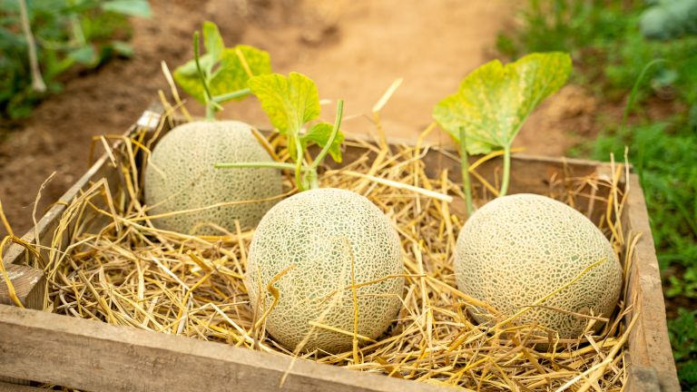 home grown North American cantaloupe melon in a box of straw