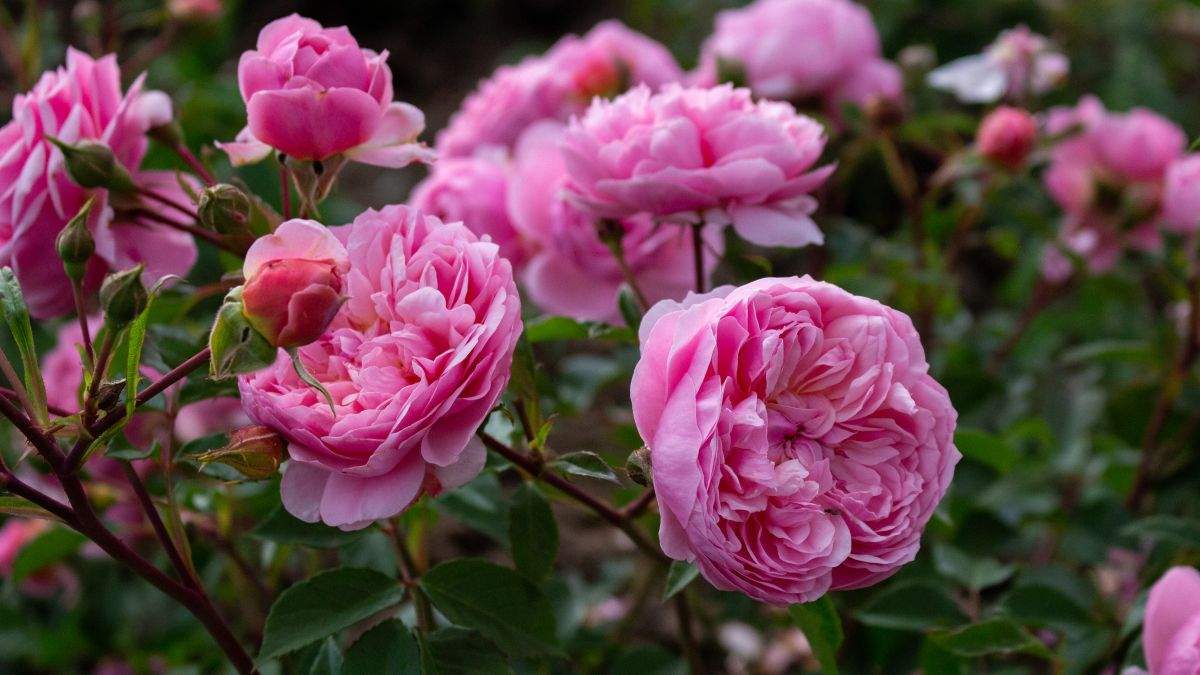 How to deadhead roses – for more flowers in a matter of weeks