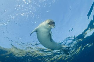An endangered Mediterranean monk seal.