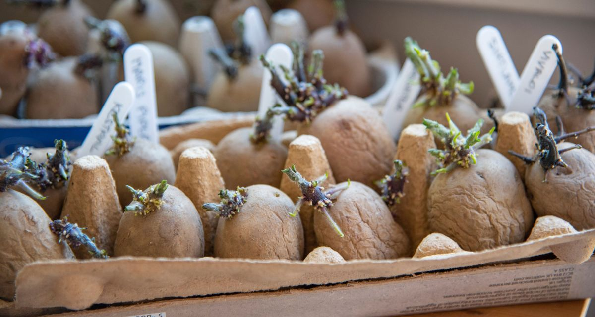 Grow potatoes with this step-by-step guide