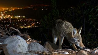 A photo of a coyote at night above Santa Monica Beach in California.