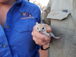 he Crest-tailed Mulgara was once commonplace in the Australian desert, but had declined to the appearance of extinction under pressure from invasive species.